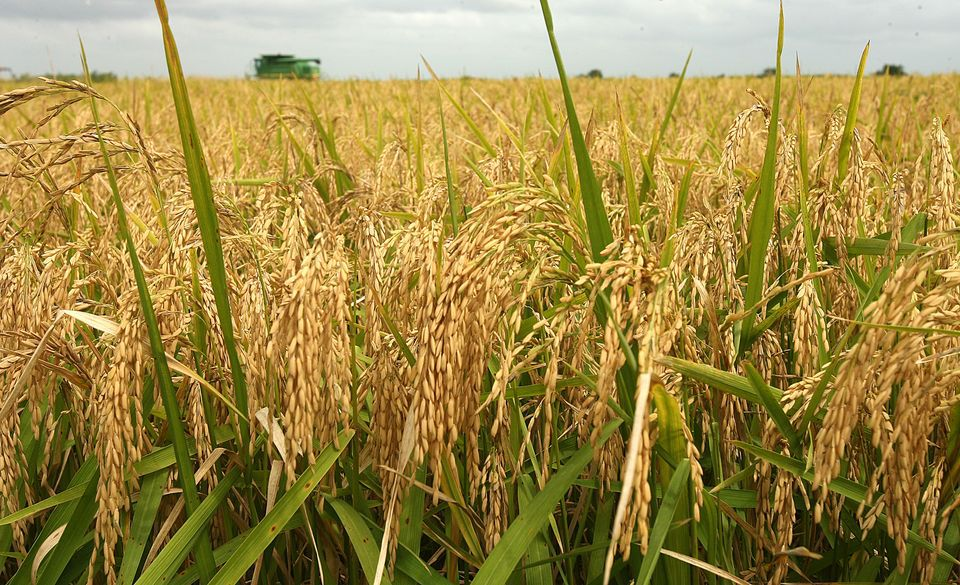 Rice Production in Kano State